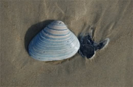 Clam Shell on the Beach