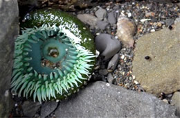 Tidal Pool Mora Beach Olympic National Park