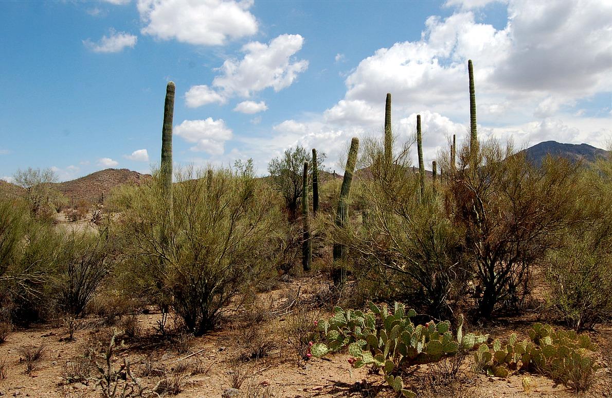 endangered species  saguaro national park  desert plants  arid desert    Desert Biome Plants