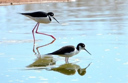 Himantopus mexicanus - Black-necked Stilt