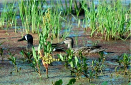 ameican blue winged teal pair
