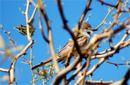 Myiarchus tyrannulus - Brown-crested Flycatcher