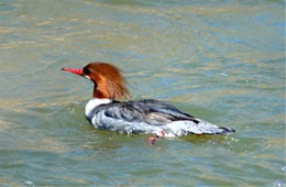 Mergus merganser - Common Merganser Female
