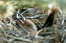 Toxostoma curvirostre - Curve-billed Thrasher