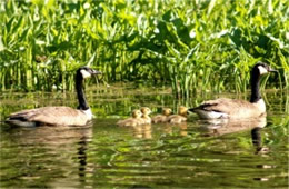 Branta canadensis - Canadian Geese and Goslings