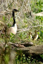 Branta canadensis - Canadian Goose and Goslings