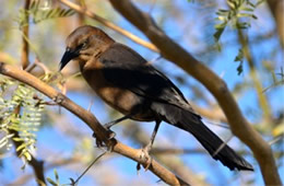 Quiscalus mexicanus - Great-tailed Grackle