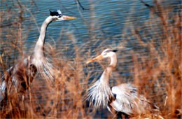 Ardea herodias - Great Blue Heron Pair