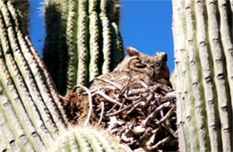Bubo virginianus - Great Horned Owl