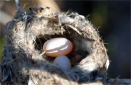 Hummingbird Nest and Two Eggs