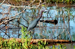 Egretta caerulea - Little Blue Heron