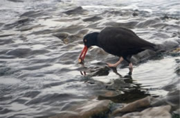 Haematopus bachmani - Black Oyster Catcher