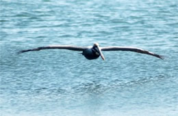 Pelecanus occidentalis - Brown Pelican