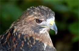 Buteo jamaicensis - Red-tailed Hawk