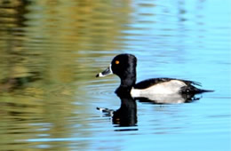 Aythya collaris - Ring-necked Duck