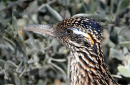 Geococcyx californianus - Greater Roadrunner