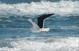 shore bird gull