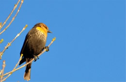 Xanthocephalus xanthocephalus - Yellow-headed Blackbird