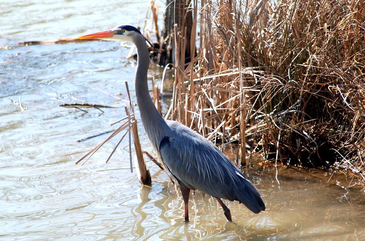 Blue Herring Bird  Get Domain Pictures Getdomainvidscom