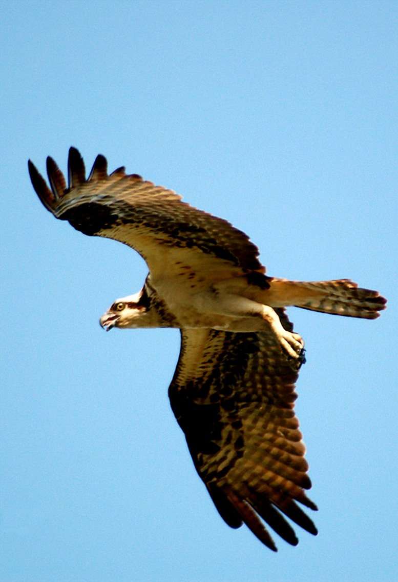 Edupic birds of prey images for Fish hawk bird