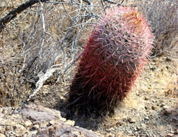 Red Barrell  Cactus