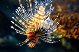 Aquarium Lionfish from the Californian Academy of Sciences