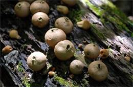 Morganella pyriformis - Puffball Mushrooms