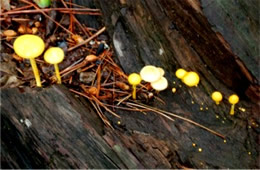 Tiny Yellow Mushrooms