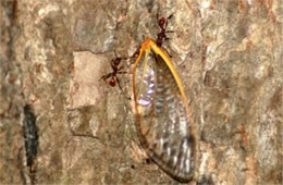 Ants with Cicada Wing