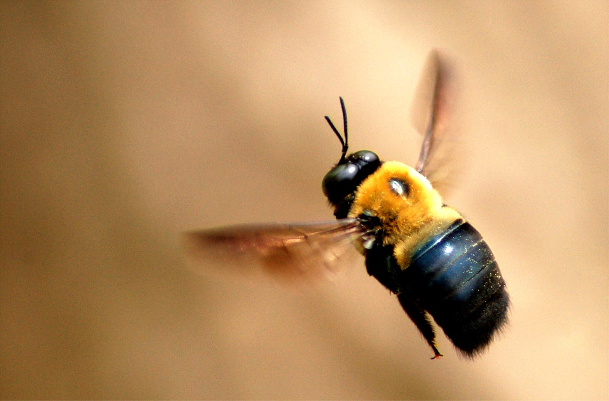Carpenter bees - photo#2