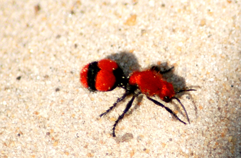 Red velvet ants