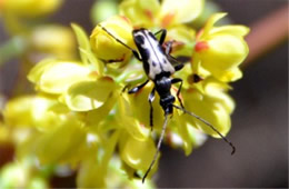 Flower Longhorn Beetle