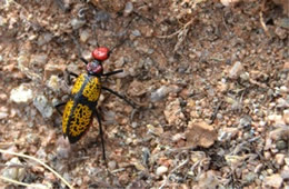 Tegrodera aloga - Iron Cross Blister Beetle