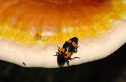 Megalodacne heros - Pleasing Fungus Beetle