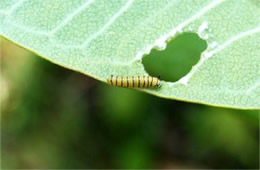 Danaus plexippus - Early Instar Monarch Caterpillar