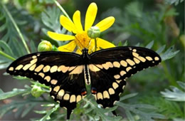 Papilio cresphontes - Giant Swallowtail Adult
