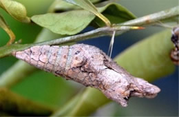 Papilio cresphontes - Giant Swallowtai Chrysalis