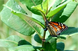 Danaus plexippus - Monarch Butterfly Ovipositing