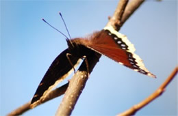 Nymphalis antiopa - Mourning Cloak Butterfly