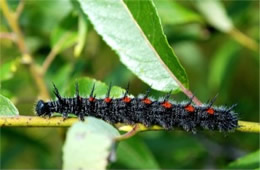 Nymphalis antiopa - Mourning Cloak Caterpillar