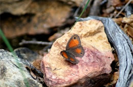 Megisto rubricata - Red Satyr Butterfly
