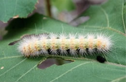 Estigmene acrea - Salt Marsh Moth Caterpillar