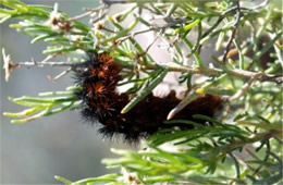 Grammia - Tiger Moth Caterpillar