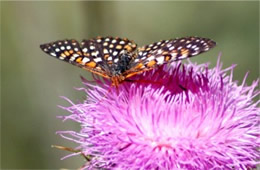 Euphydryas chalcedona - Variable Checkerspot