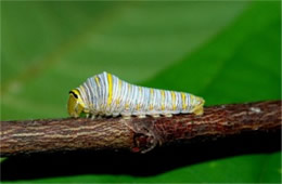 Eurytides marcellus - Zebra Swallowtail Caterpillar