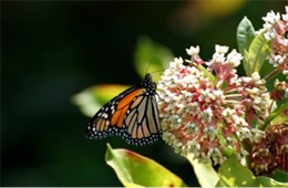 Milkweed - Monarch Larval Host Plant