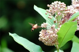 Milkweed with Hummingbird Moth - Monarch Larval Host Plant