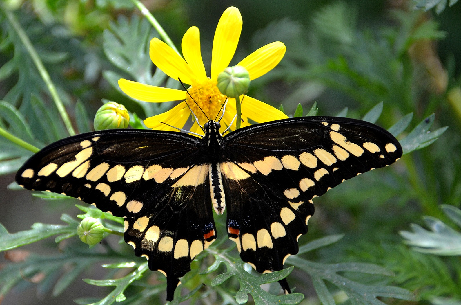 Delicieux Giant Swallowtail Butterfly, Life Cycle, Insect, Lepidoptera, Arthropod,  Host Plant, Invertebrate, Desert Botanical Gardens, Arizona ...