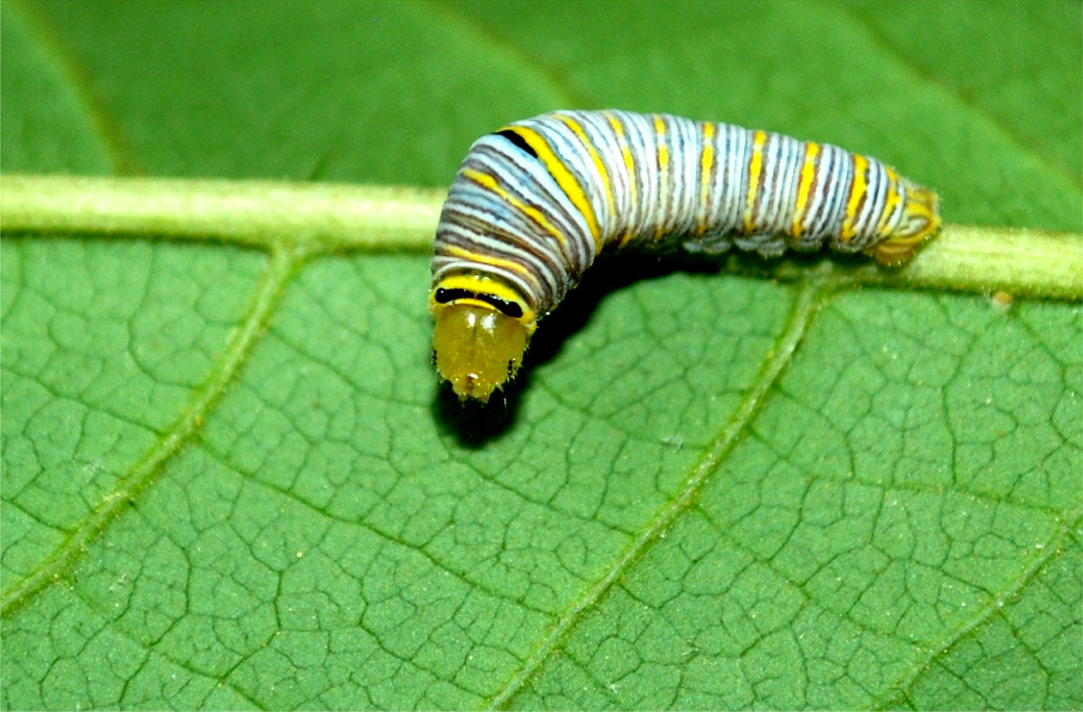 use the form below to delete this zebra swallowtail caterpillarZebra Swallowtail Caterpillar