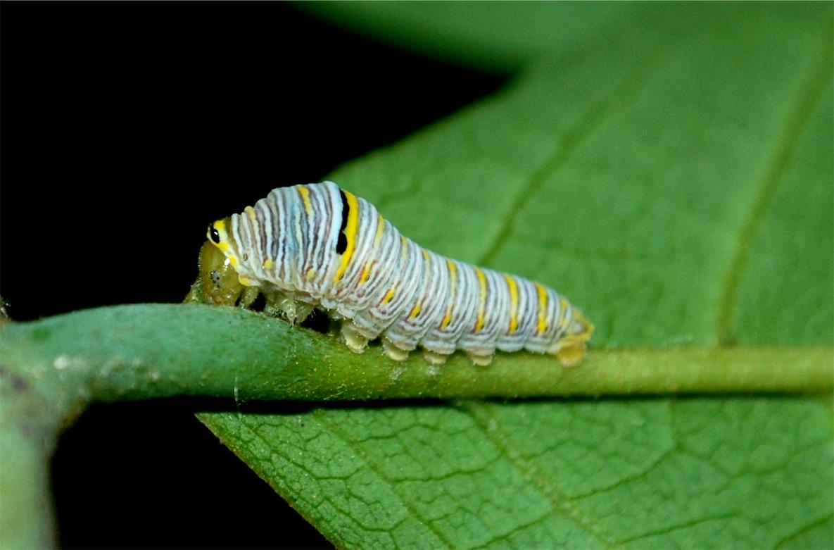 zebra swallowtail caterpillar  insect  larva  lepidoptera  arthropod    Zebra Swallowtail Caterpillar
